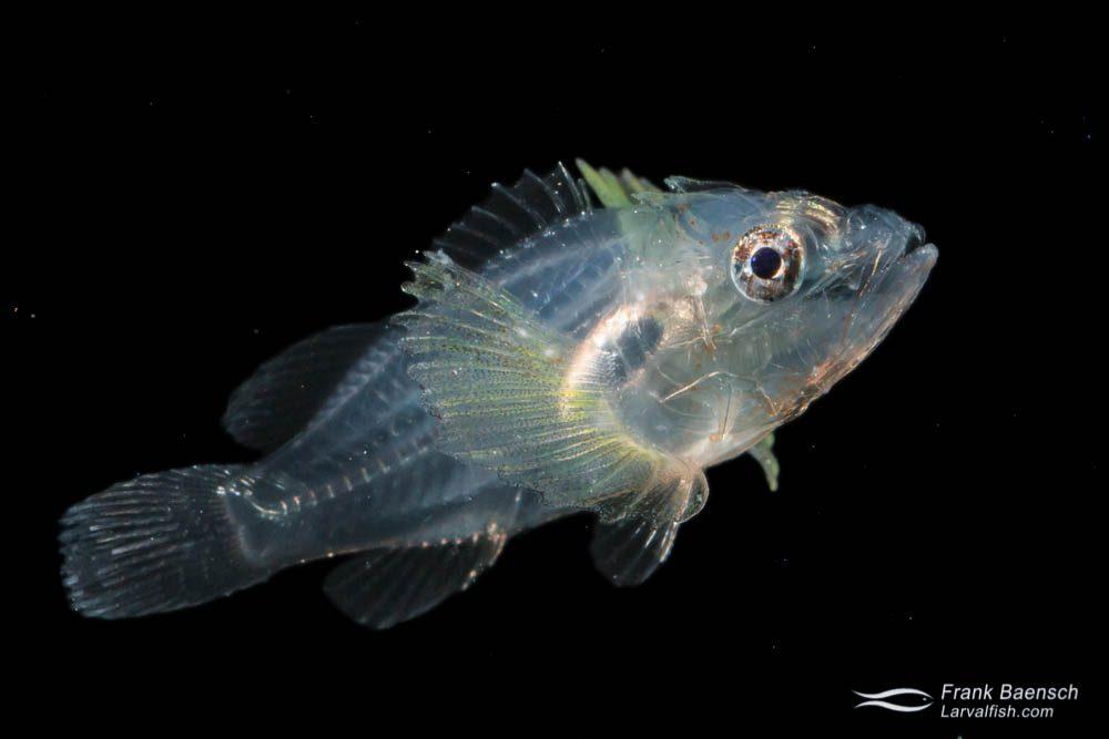 Scorpionfish larva - 13.0 mm TL. Papua New Guinea.