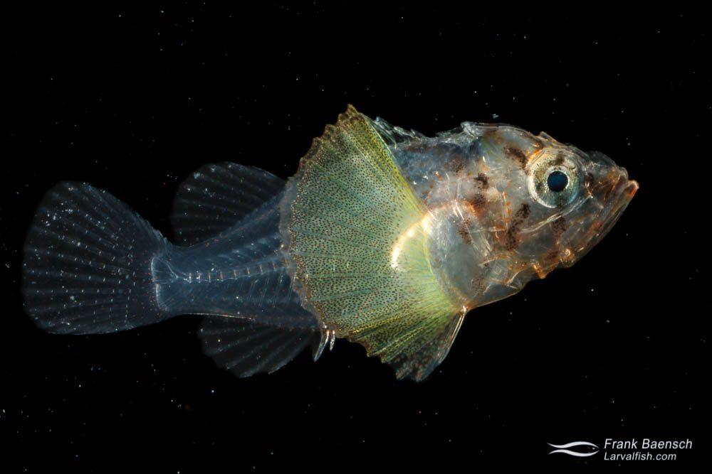 Scorpionfish larva - 11.1 mm TL. Papua New Guinea.