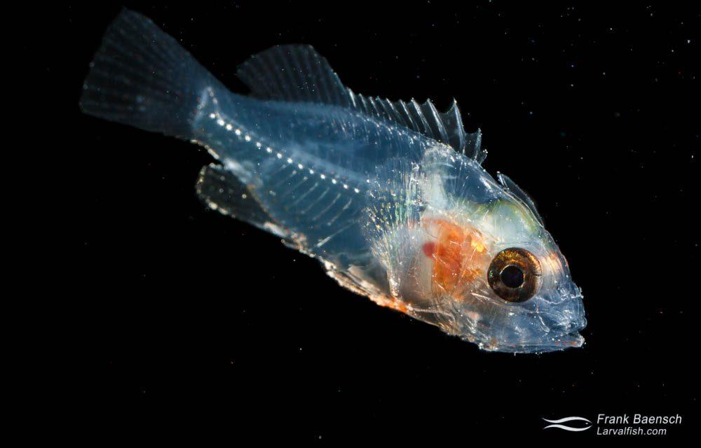 Scorpionfish larva - 12.0 mm TL. Papua New Guinea.