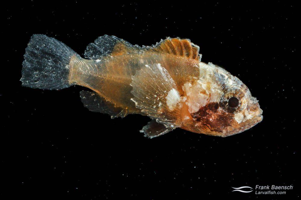 Scorpionfish larva - 17.0 mm TL. Papua New Guinea.