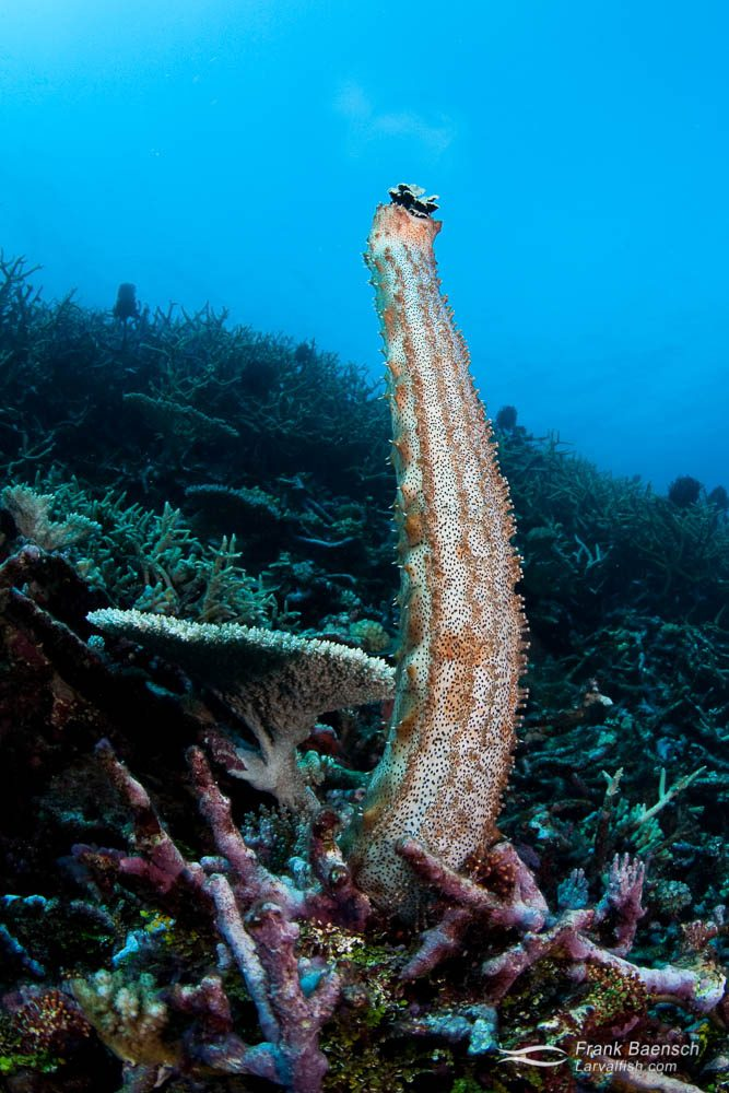 A sea cucumber (Holothuroidea sp.) extends off the reef and releases gametes in the current.