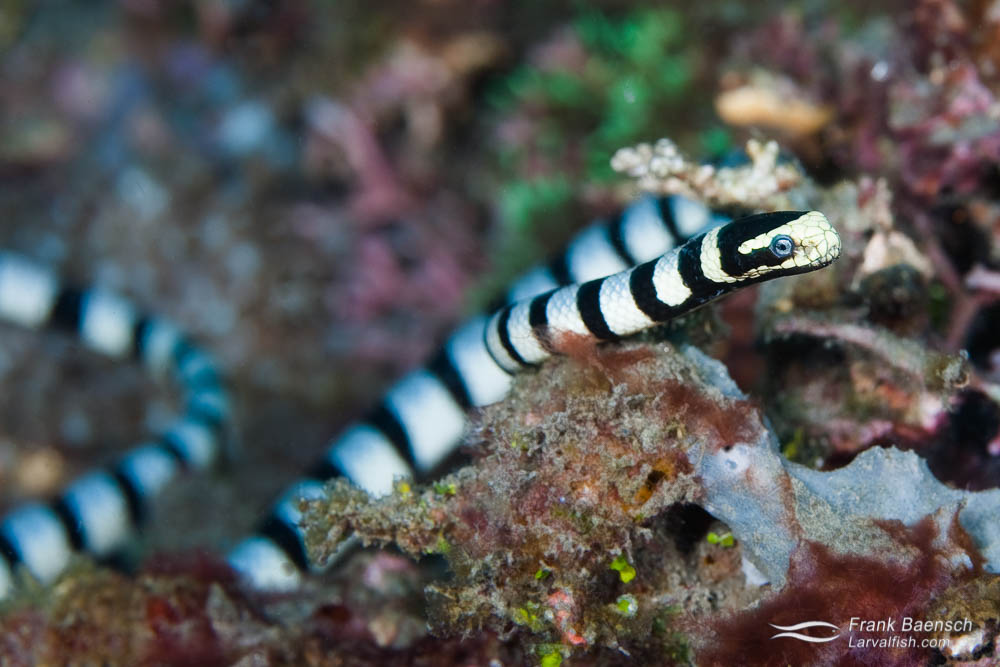 Close up of a banded sea krait hunting on a reef.