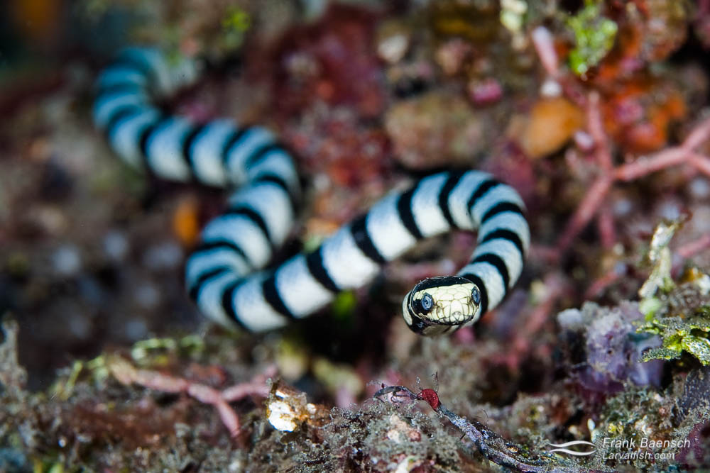 Hea don close up of a banded sea krait hunting on a reef.