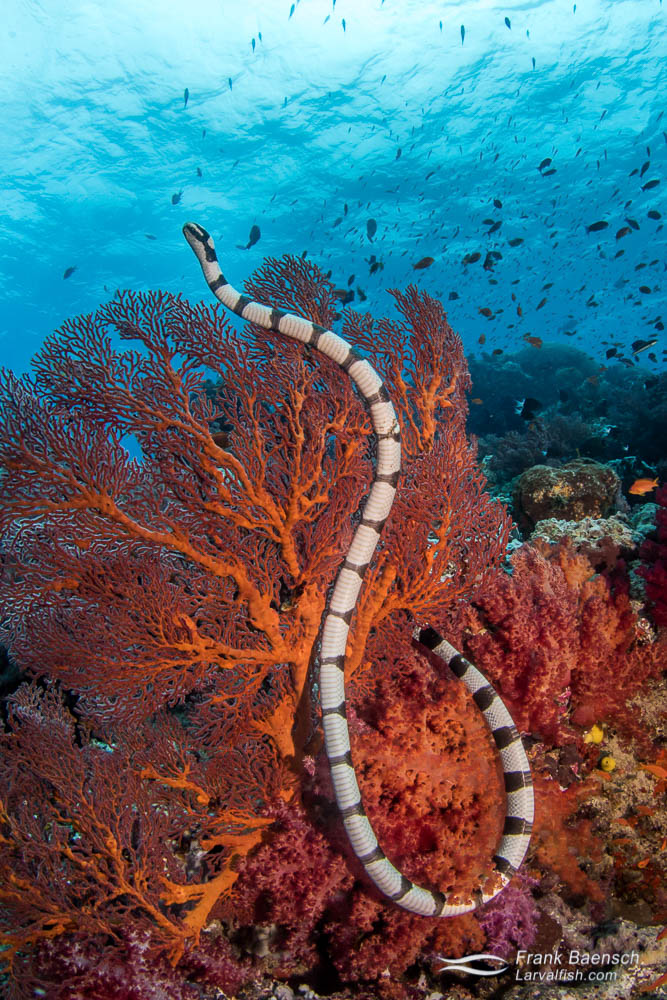 Yellow lipped sea snake (Laticauda colubrine) on a gorgonian in Fiji