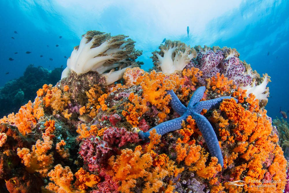 Blue starfish and soft coral reef scene. Indonesia.