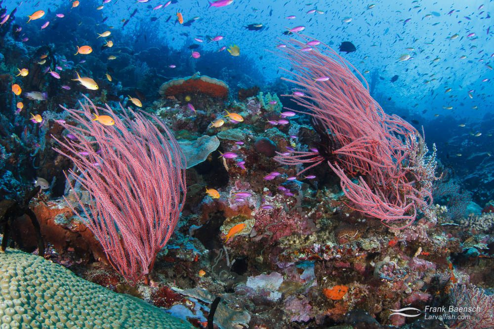 Colorful anthias schooling around sea whips. Papua New Guinea.