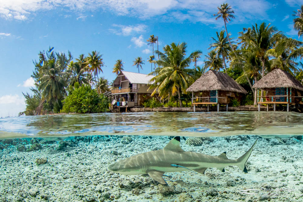 A blacktip reef shark (Carcharhinus melanopterus) swims near the surface in front of bungalows in Tetamanu Village, French Polynesia.