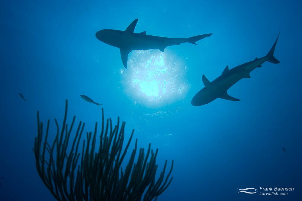 Reef shark (Carcharhinus perezi) silhouette. Bahamas.
