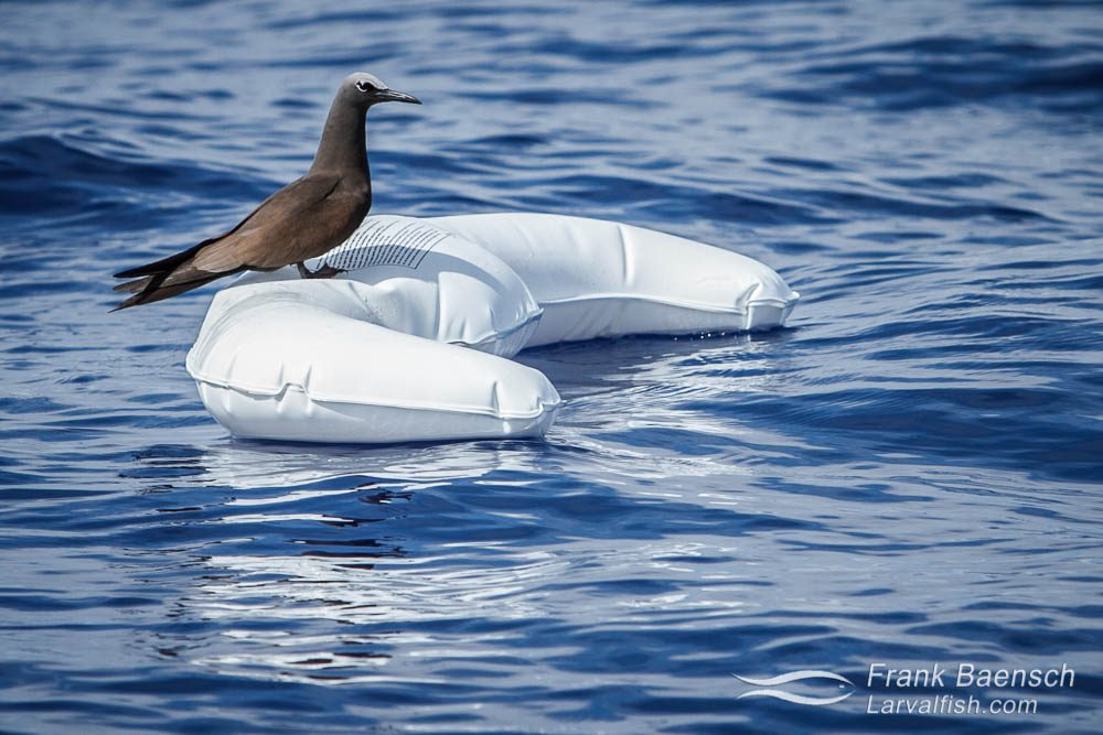 A shearwater rests on a platic cushion floating in the open ocean. Hawaii.