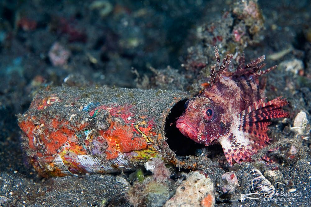 Shortfin lionfish (Dendrochirus brachypterus), red variation, infront of a tin. Indonesia.
