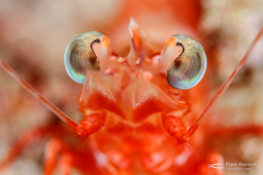 Head on shot of a shrimp's eyes. Philippines.