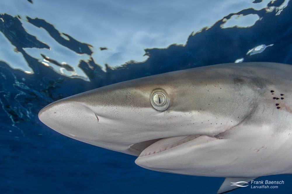 Headshot of a silky shark (Carcharhinus falciformis) at the surface in the Bahamas.