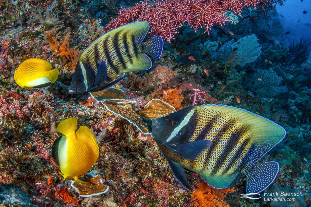 Sixbar and flagfin angelfish grazing on a reef  in Raja Ampat, Indonesia. Indonesia.