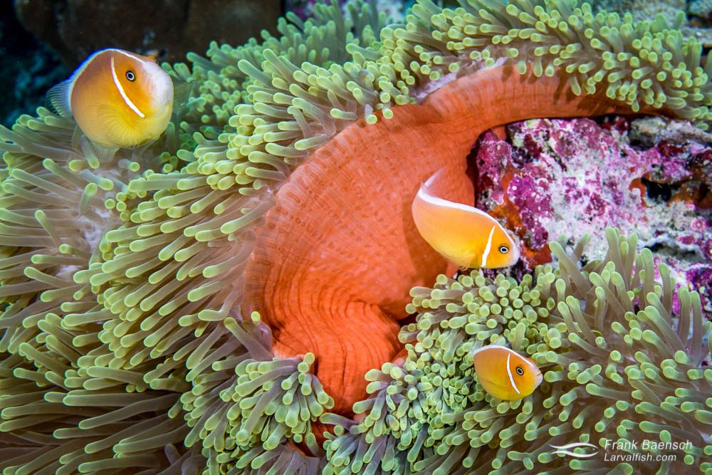 Skunk anemonefish (Amphiprion perideraion) trio in Palau.