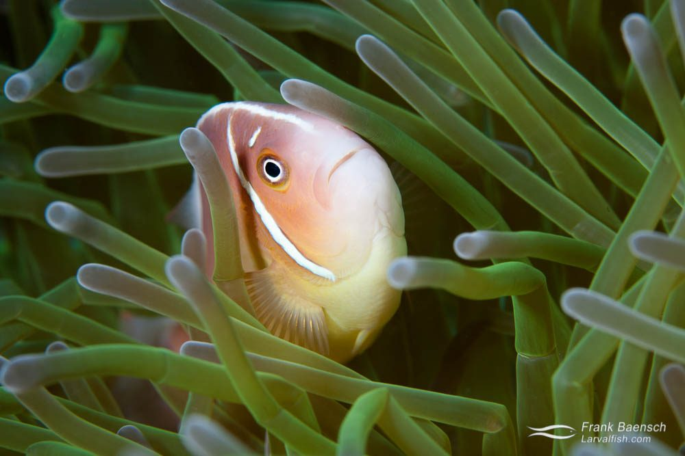 Orange skunk clownfish (Amphiprion sandaracinos). Papua New Guinea.
