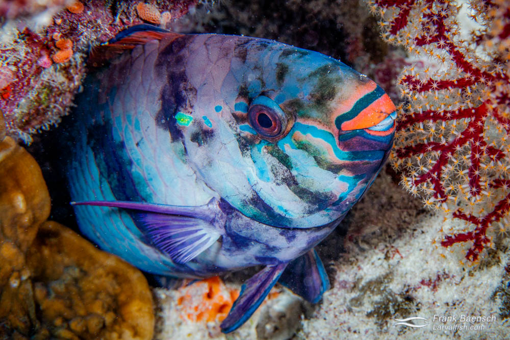 Sleeping parrotfish in Palau.