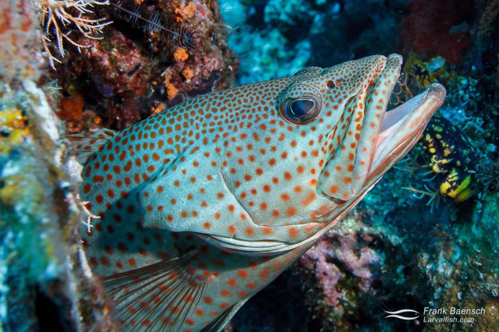 Head shot of slender grouper (Anyperodon leucogrammicus). Indonesia.