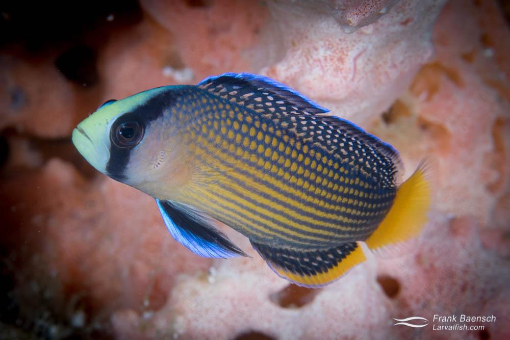 Slendid dottyback (Pseudochromis slendens). Indonesia.