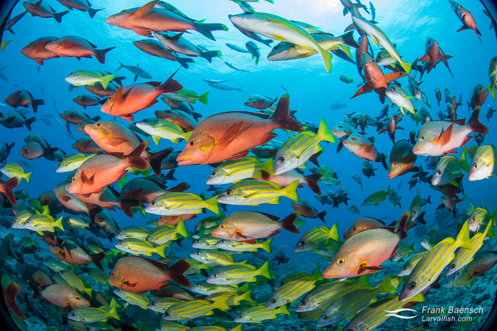 Snappers cluster around bait on a reef off Tahiti, French Polynesia.