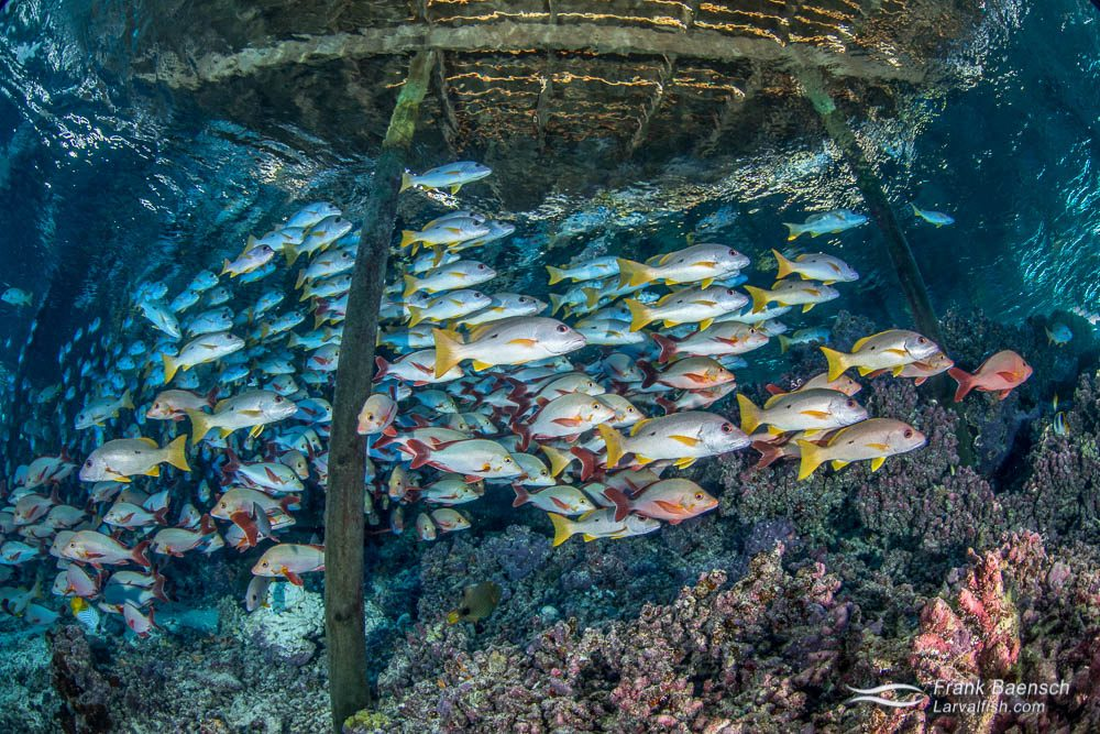Onespot snappers (Lutjanus monostigma) school under pier at Tetamanu, French Polynesia.