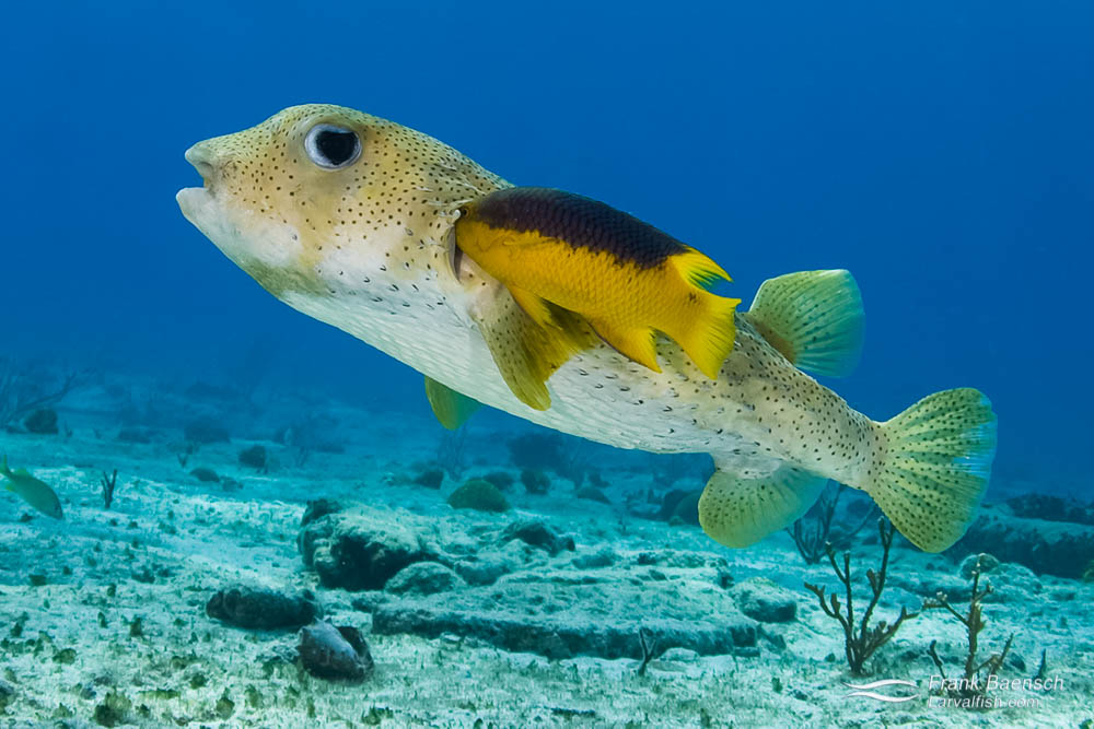 Spanish hogfish (Bodianus rufus) cleaning a spiny balloonfish (Diodon holocanthus). Bahamas.