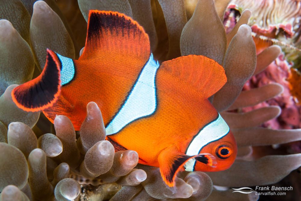 A spinecheek anemonefish (Premnas biaculeatus) male. Indonesia.