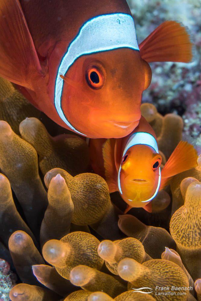 Spinecheek anemonefish (Premnas biaculeatus) pair. Papua New Guinea.