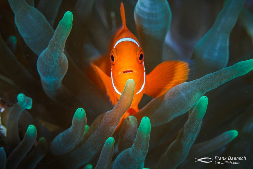 Male spinecheek anemonefish (Premnas biaculeatus). Papua New Guinea.