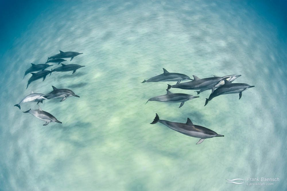 A pod of spinner dolphins (Stenella longirostris ) cruises over sand bottom in Hawaii.