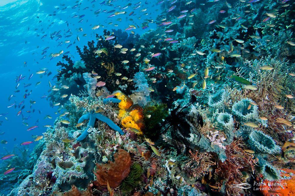 Brightly colored sponges, starfish and anthias reef scene in Raja Ampat, Indonesia.