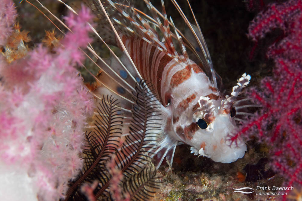A spotfin lionfish (Pterois antennata) swims through a forest of soft corals. Indonesia.