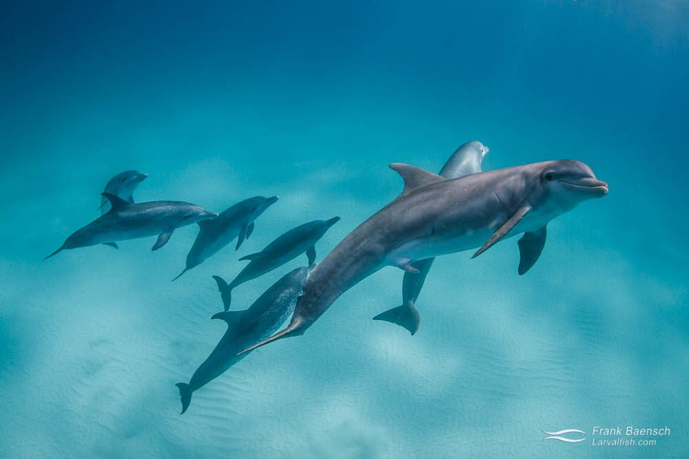 Bottlenose dolphin bull (Tursiops truncatus) courting Atlantic spotted dolphins (Stenella frontalis). Bahamas.