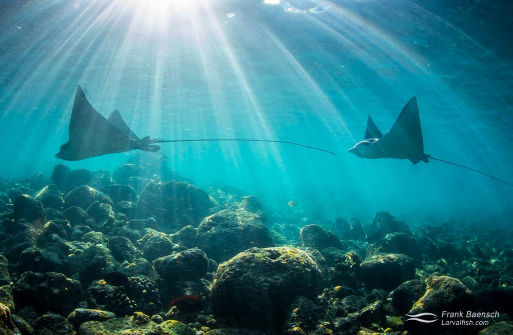 Spotted eagle ray (Aetobatus narinari) swim above rocks in the shallows off the Big Island at dawn. Hawaii.