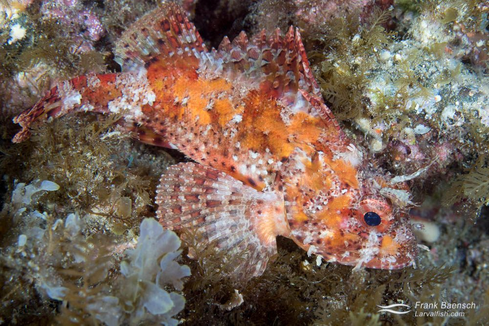 Spotted scorpionfish (Scorpaena guttata). California.