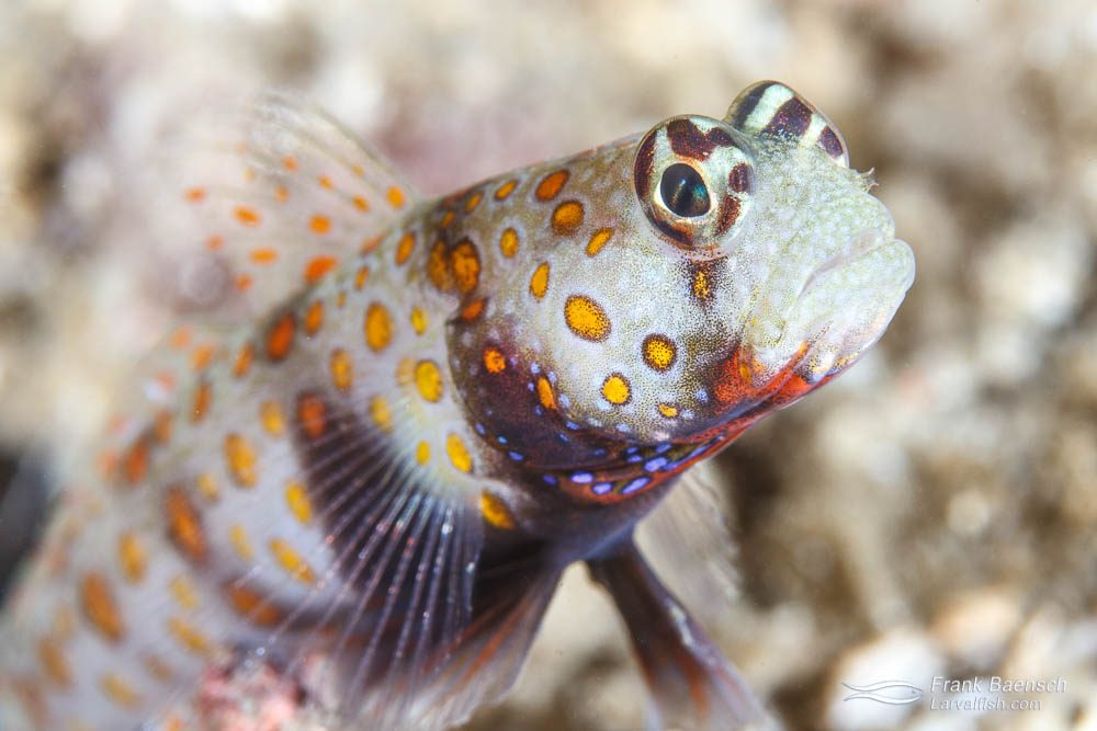 Head shot of spotted shrimp goby (Amblyeleotris guttata). Philippines.