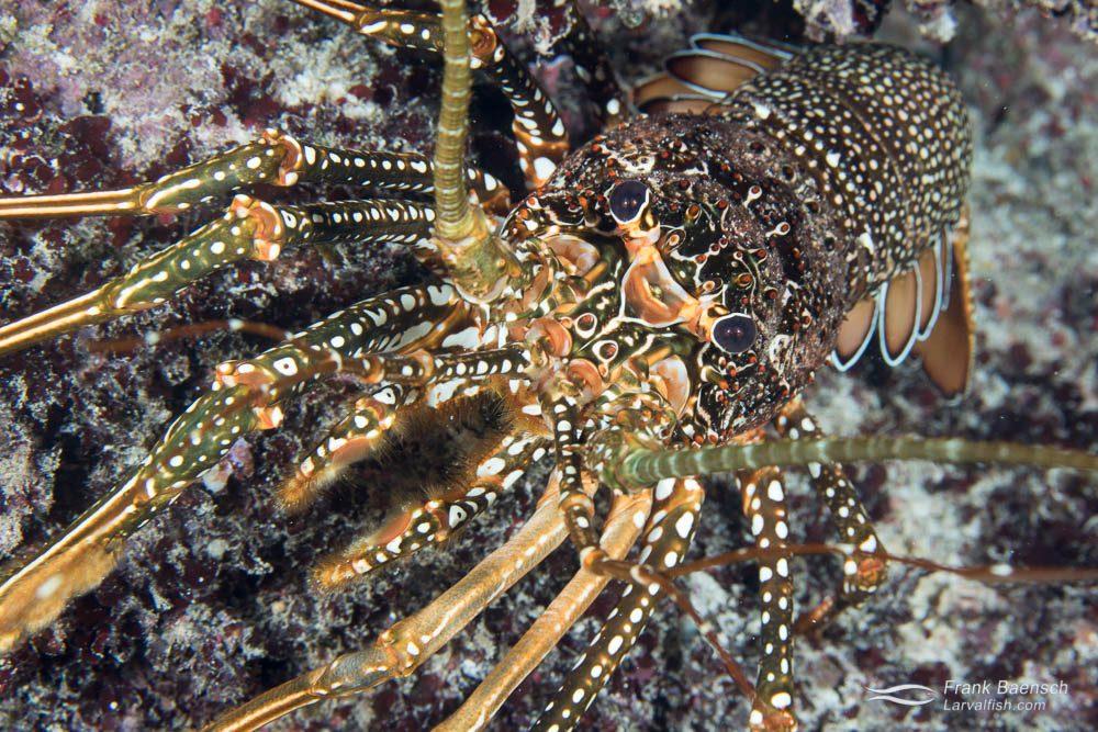 Spotted spiny lobster (Panulirus guttatus). Bahamas.
