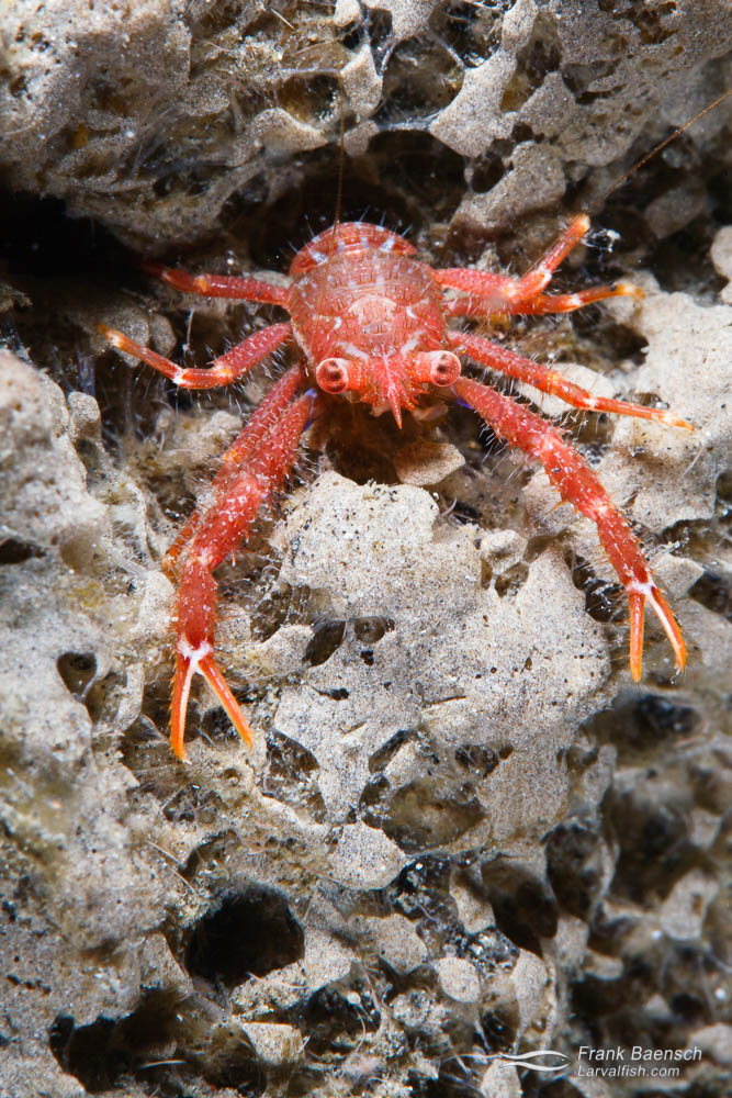 Squat lobster on a sponge. These decapod crustaceans are not lobsters at all, but are more closely related to porcelain crabs, hermit crabs and then, more distantly, true crabs. Halmahera, Indonesia.