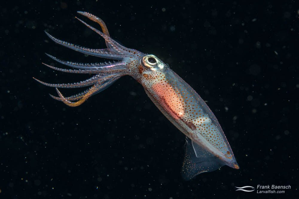 Squid (Cephalapod sp.) at night. Palau.