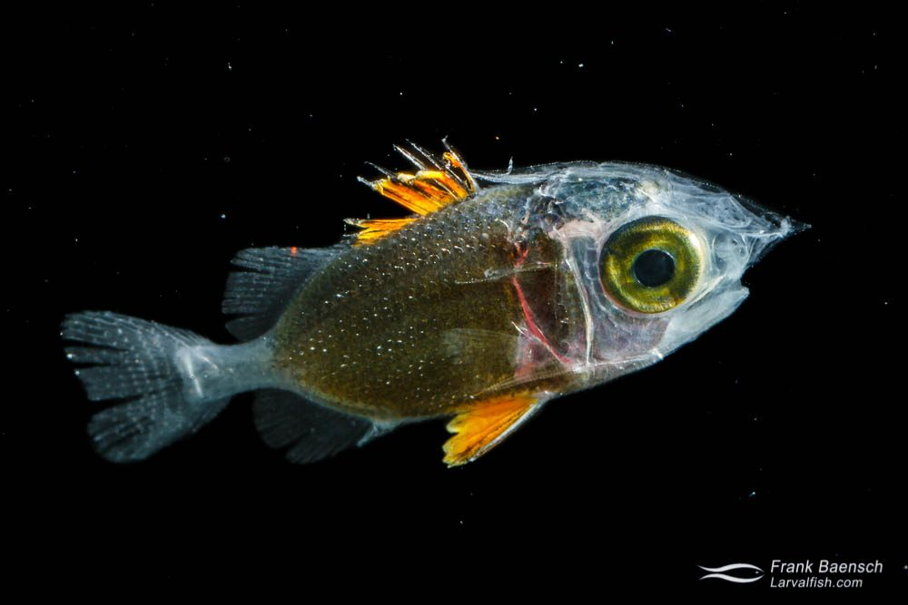 Squirrelfish larva - 13.4 mm TL. Papua New Guinea.