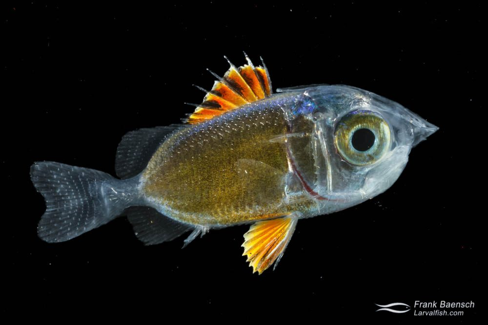 Squirrelfish larva - 22.5 mm TL. Indonesia.