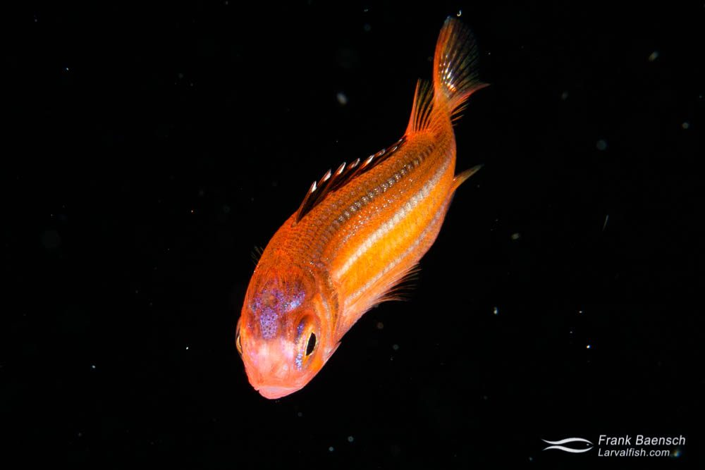 Head on shot of squirrelfish larva on blackwater dive in Palau.