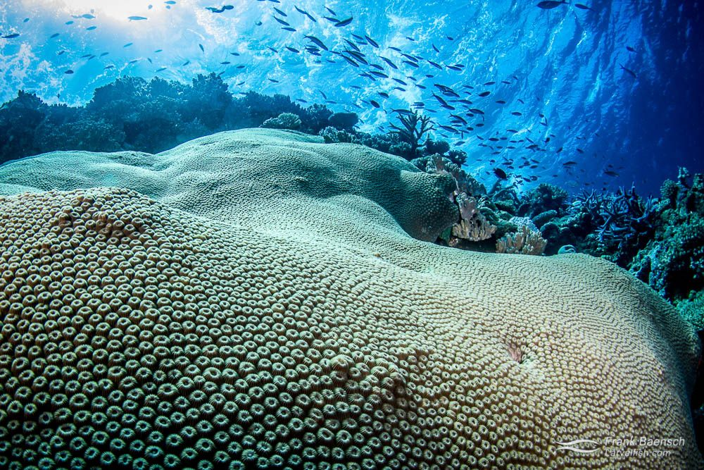 A giant star coral. Fiji.