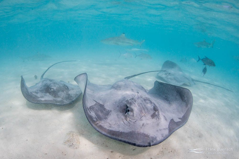 Tahitian stingrays (Himantura fai), sharks and jacks on a sandbar off Moorea, French Polynesia.