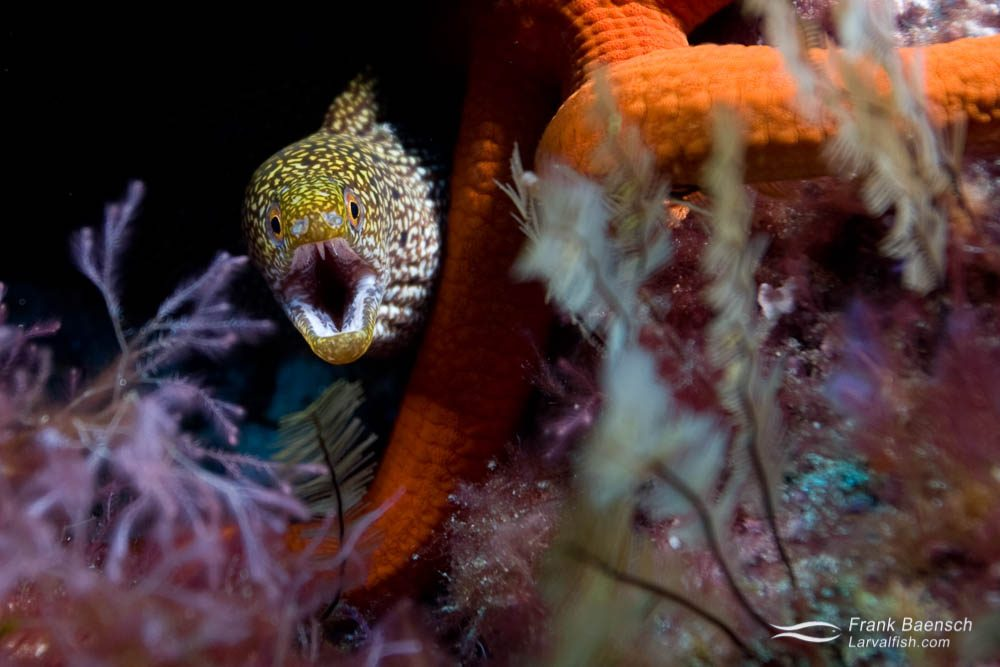 Stout moray (Gymnothorax eurostus)  next to an orange starfish. Lorde Howe Island.