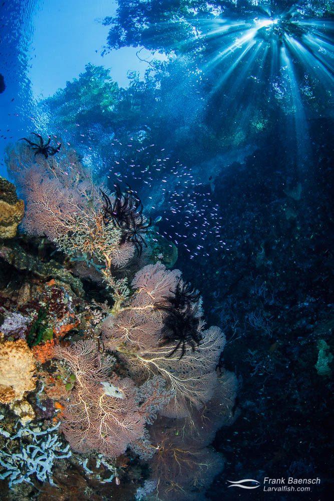 Sunrays break through a tree above gorgonians, sponges and anthias. Papua New Guinea.