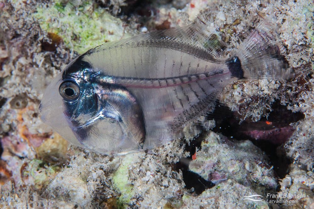 A surgeon fish (Acanthurid sp.) larva settling on a reef. Fish larvae are highly vulnerable to predation at this stage on the reef. About 1 out of 10 post-larvae survive settlement to become juveniles. Indonesia.