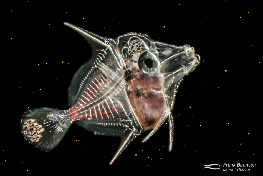 Cultured surgeonfish (Acanthuridae) larva; 39 dph - 6.9 mm. Hawaii.