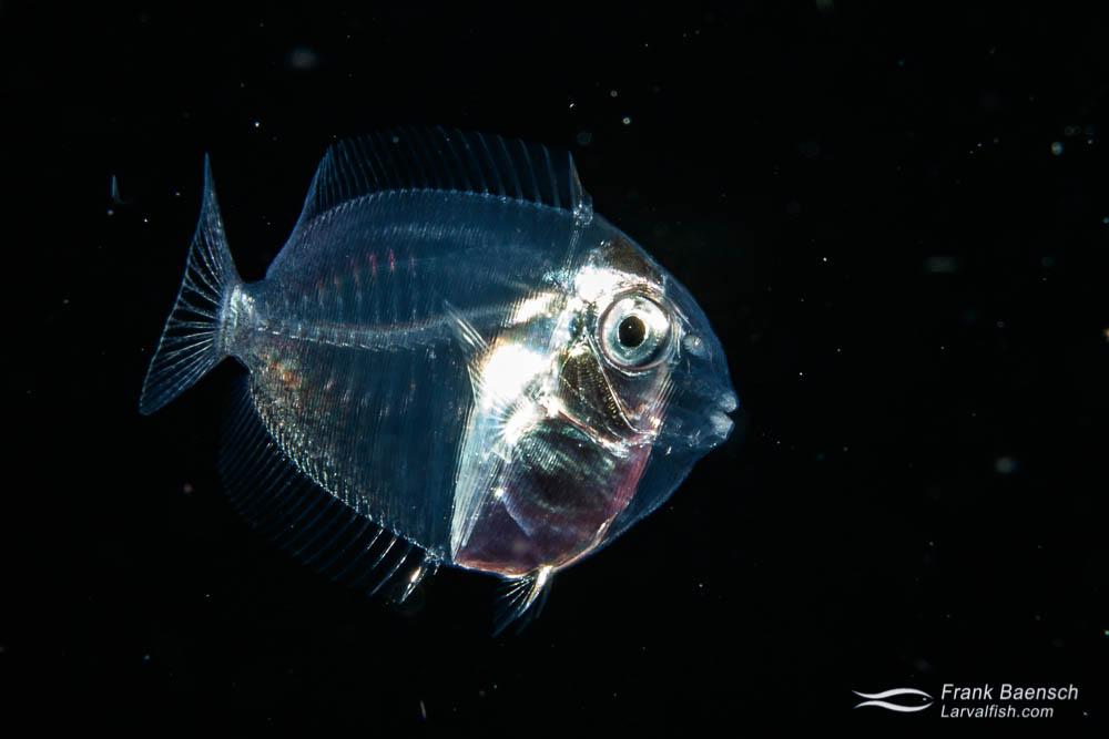 Settling surgeonfish larva on the reef at night in Palau.
