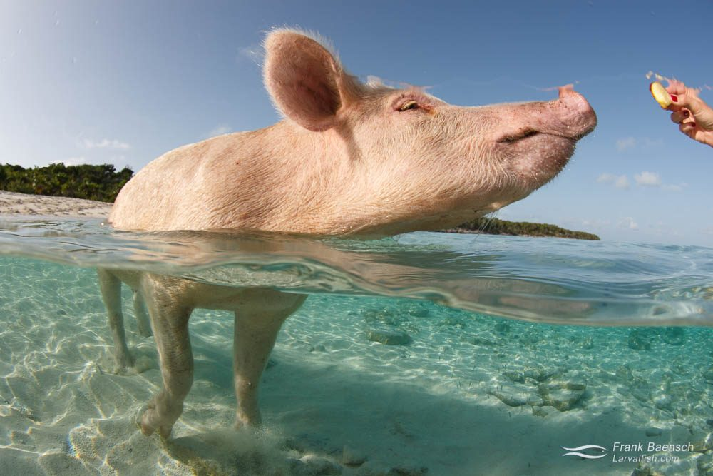 A pig wading in the ocean about to devour some apple. Bahamas.