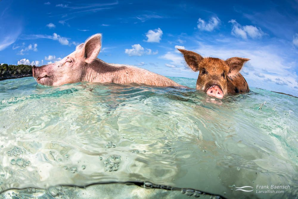 Pigs swimming in the Exumas.